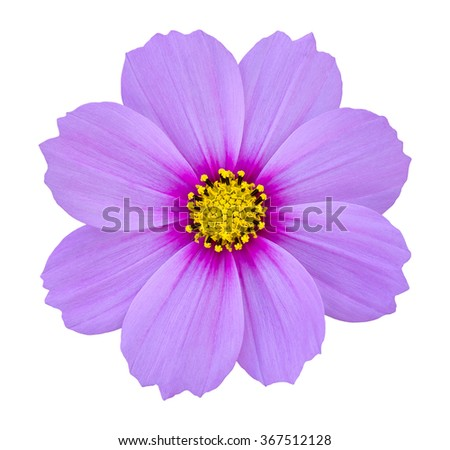 blue cosmos flower isolated on white with clipping path - stock photo