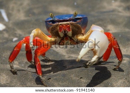 Blue crab, Costa Rica Halloween crab