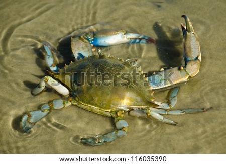 Blue Crab in Water - stock photo