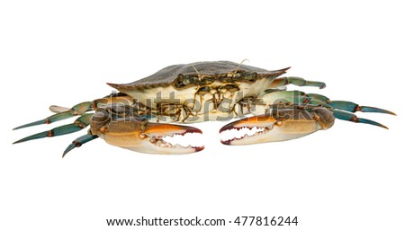 Blue crab isolated on white background,front view