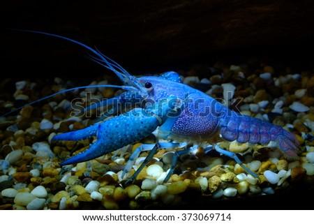 Blue Crayfish in Freshwater Aquarium in low light - stock photo