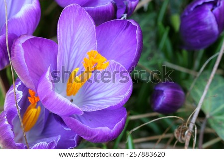 Blue crocus - stock photo