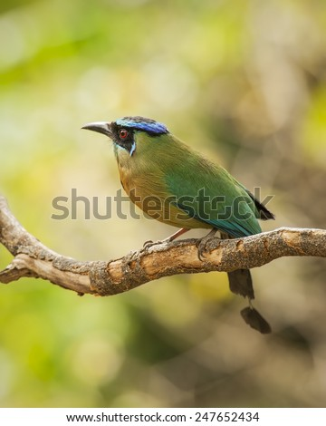 Blue-crowned motmot perched on a branch in Costa Rica. - stock photo