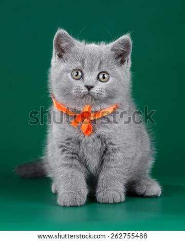 Blue Cute British kitten with a bow - stock photo