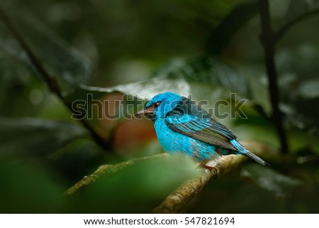 Blue Dacnis, Dacnis cayana, exotic tropic tanager with yellow leg, Costa Rica. Rare songbird in the nature habitat. Beautiful exotic tropic blue bird with yellow leg, Costa Rica.