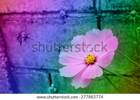 blue daisy blooming beside the block fence in multicolor tone - stock photo