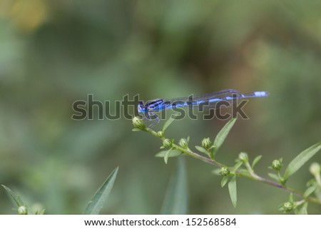 blue damsel fly on green plant with green background - stock photo