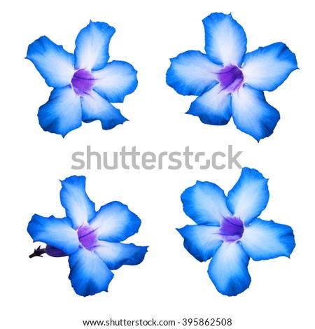 Blue Desert rose flowers, isolated on white background - stock photo