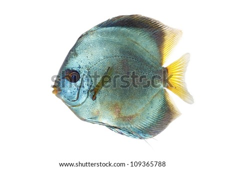Blue Discus isolated on white and clear