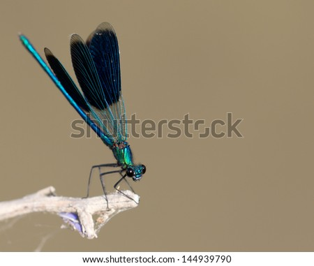 blue dragonfly in nature. macro