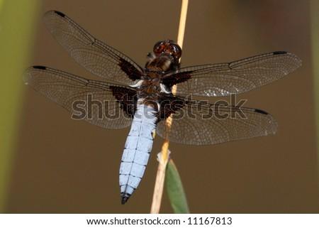 Blue dragonfly - Libellula depressa - stock photo