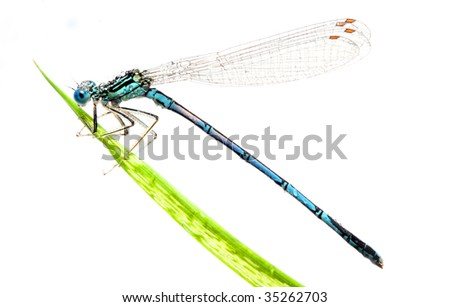 Blue dragonfly on a grass