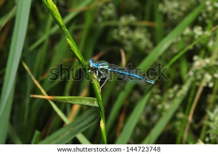 blue dragonfly on a grass stalk
