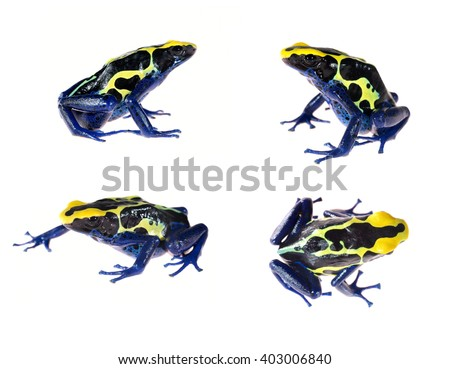 Blue dyeing dart frog Dendrobates tinctorius isolated on white - stock photo