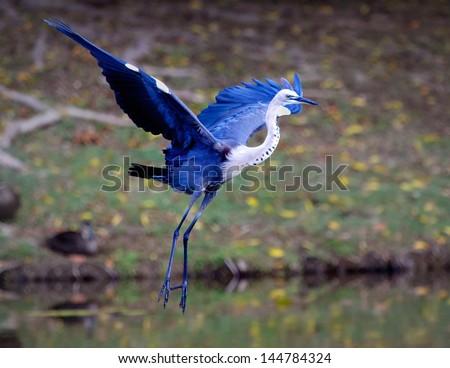 Blue Egret - stock photo