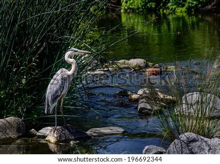 Blue Egret at Los Angeles River. A Closeup Shot of a Great Blue Heron - stock photo