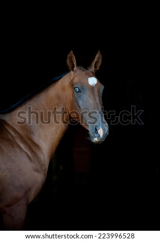 blue eyed akhal-teke horse on a black - stock photo