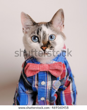 Blue-eyed cat wearing shirt and bow tie