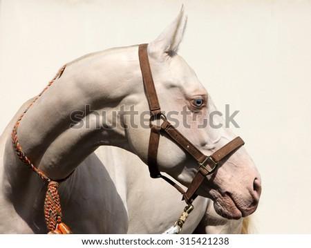 Blue-eyed Cremello akhal-teke horse  - stock photo