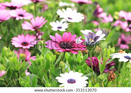Blue-eyed Daisy,African Daisy,Cape Daisy,Spoon Daisy,beautiful red with purple and white flowers blooming in the garden   - stock photo