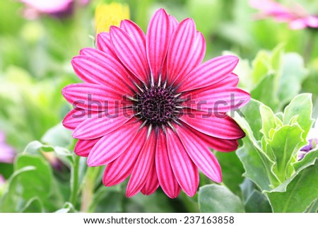 Blue-eyed Daisy,African Daisy,Cape Daisy,Spoon Daisy,red with purple African Daisy in full bloom in garden  - stock photo