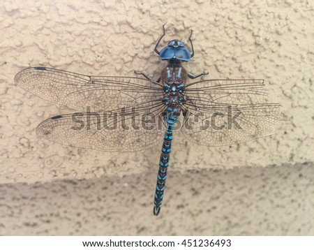 Blue-eyed darner (Aeshna multicolor) is a dragonfly of the family Aeshnidae.