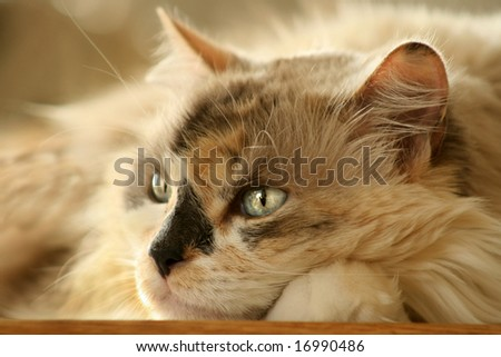 Blue eyed Dilute Calico kitty resting