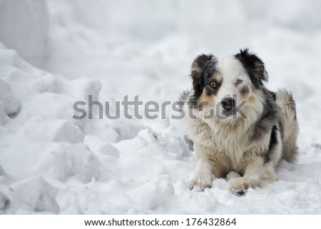 blue eyed dog looking at you on the snow in winter time