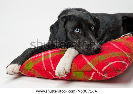 Blue-eyed dog on pillow