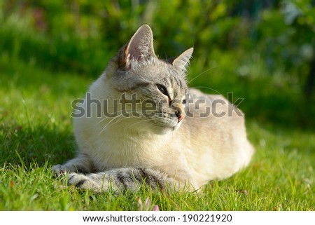 Blue eyed domestic cat lying on the grass. Very shallow depth of field. - stock photo