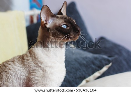 Blue eyed Peterbald cat.