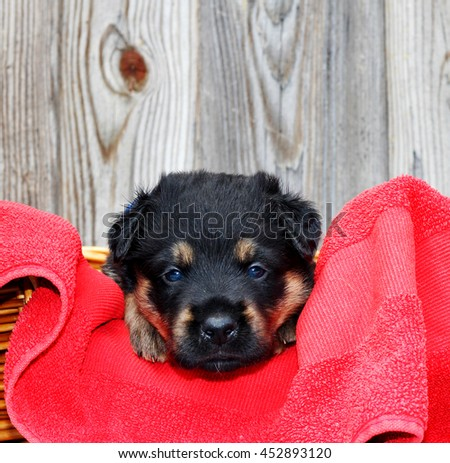 Blue eyed puppy looking at the camera - stock photo