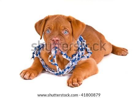 Blue-eyed puppy wearing blue beads - stock photo