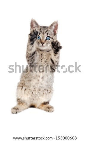 blue eyed tabby kitten playing with her paws held up