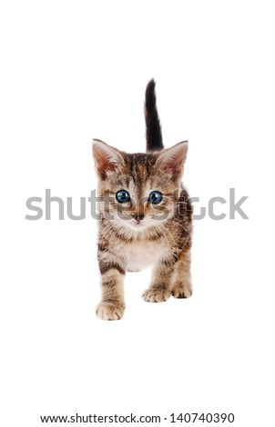 Blue eyed tabby kitten standing on a white background - stock photo