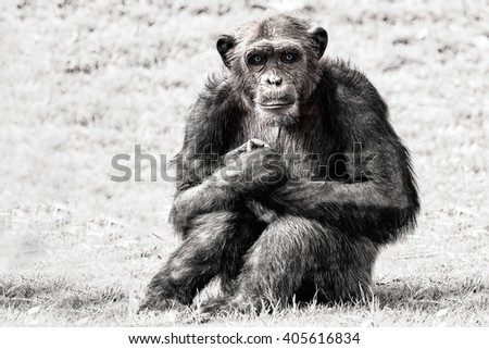 blue eyes Ape chimpanzee monkey looking at you in black and white while looking at you - stock photo