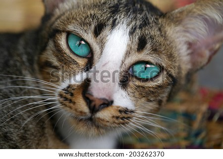 Blue eyes of Bengal cat.