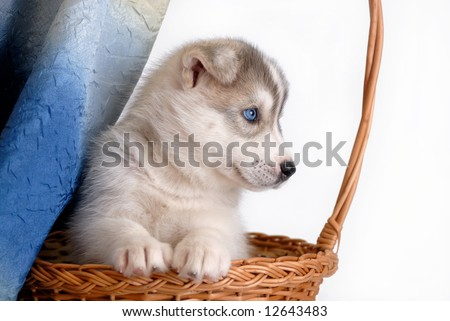 Blue eyes puppy - stock photo