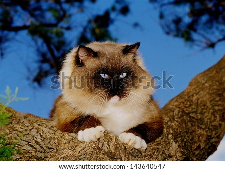 Blue eyes Ragdoll cat on a tree