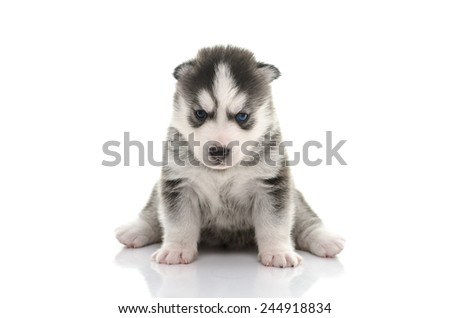 Blue eyes Siberian Husky puppy sitting and looking on white background isolated - stock photo
