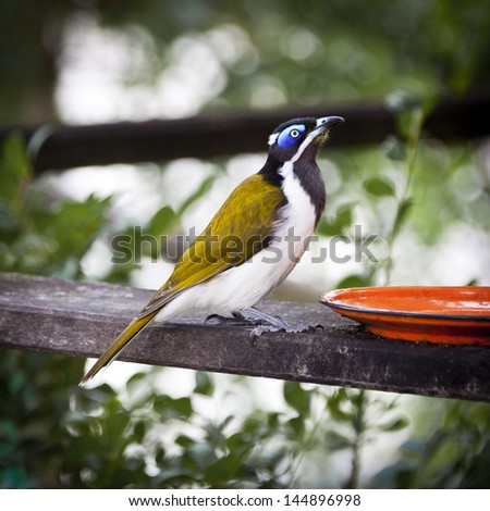 Blue-faced Honeyeater Entomyzon cyanotis drinking from a bowl in Hervey Bay, Queensland, Australia. - stock photo