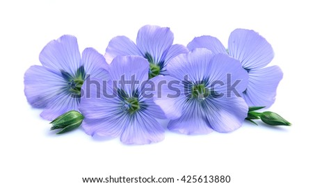 Blue flax flowers on white background