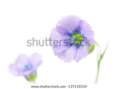 Blue Flax Flowers on White Background with Copy Space - stock photo