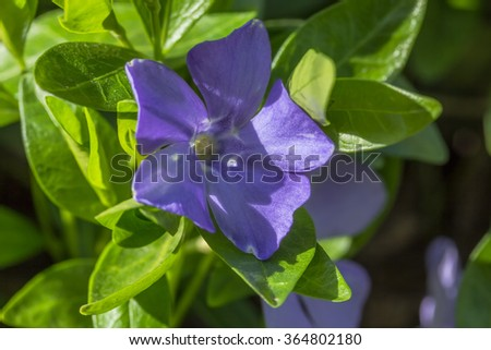 Blue flower and green leaves of periwinkle, macro. Selective focus