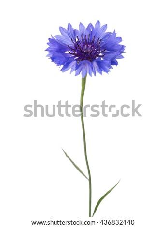 Blue flower (Cornflower) isolated on white background.  - stock photo