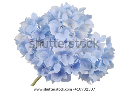 Blue flower hydrangea on white background. Clipping path inside