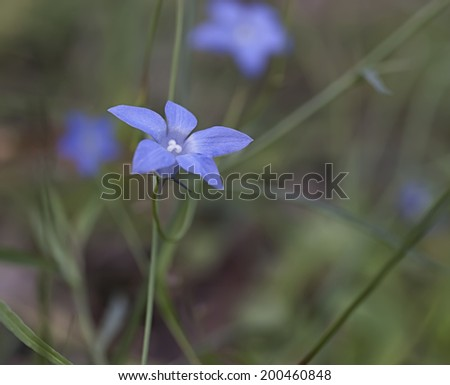 Blue flower of Australian native bluebell Wahlenbergia wildflower  growing in eucalpt forest - stock photo