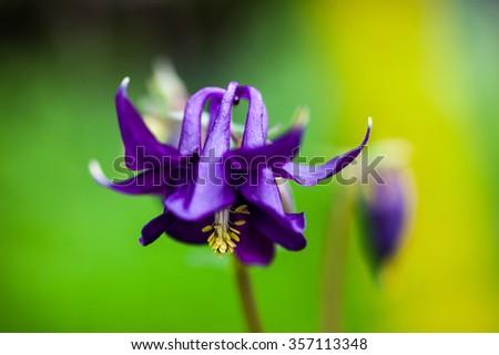 Blue flower of European columbine (Aquilegia vulgaris). Close up. - stock photo