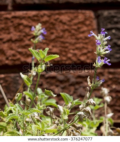 Blue flower of Nepeta cataria,  catnip, catswort, or catmint, is a species of genus Nepeta in the family Lamiaceae with plant terpenoid nepetalactone  the main chemical constituent  which cats love.
