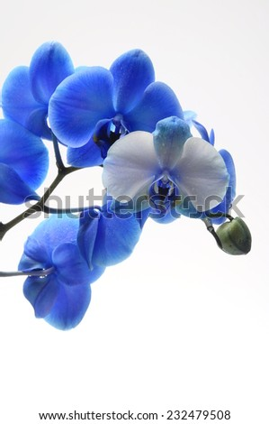 Blue flower orchid on light background - stock photo